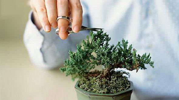 Unelte bonsai, ingrijire bonsai