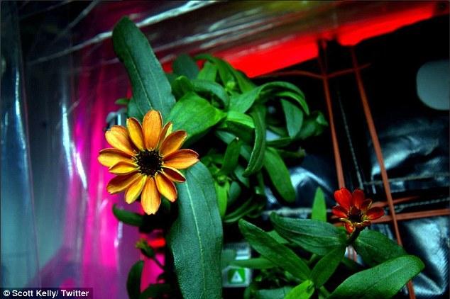 Prima floare crescuta in spatiu (poze si video)
