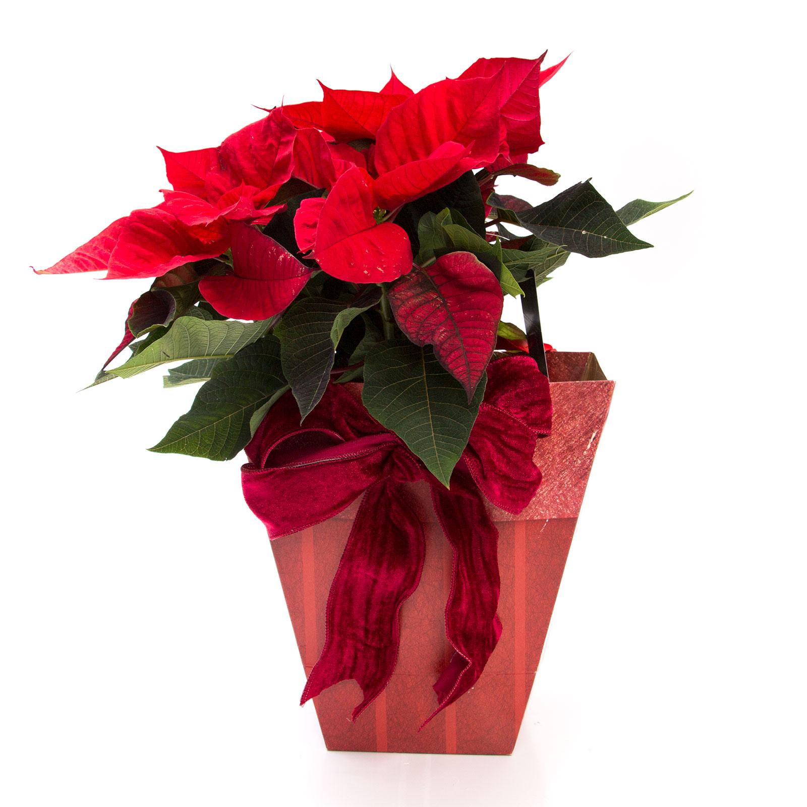 craciunite flori 2017 in pungi cadou, idei de cadouri craciun